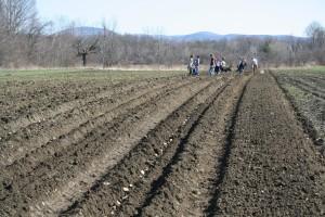 Seed potatoes await planting at Caretaker Farm in Williamstown.
