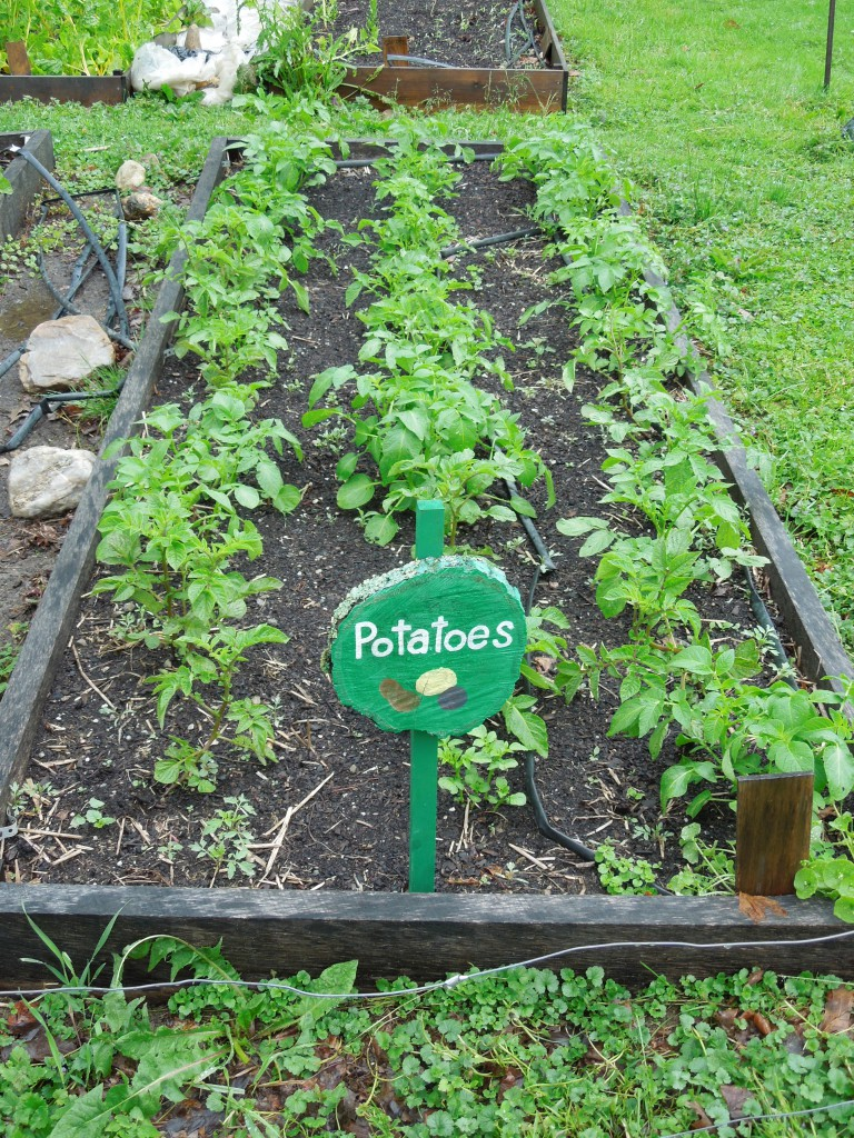 Vibrant potato plants