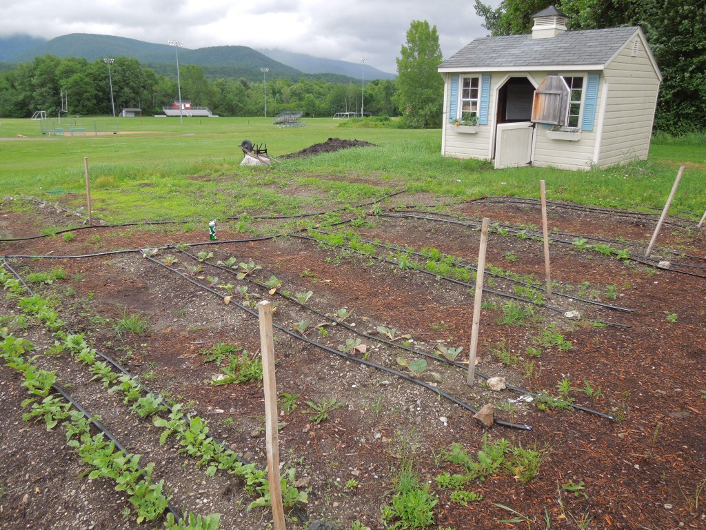 Rows of radishes, greens, and carrots in the Mount Greylock garden