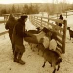 herding? goats